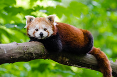 Relaxing Red Panda (Mathias Appel) Tags: red orange tree cute green feet nature face animal animals female contrast vintage wow germany fur nose deutschland foot zoo high paw firefox nikon asia gesicht jung panda pretty day sweet bokeh weekend wildlife tail mozilla natur young adorable ears bamboo iso species endangered paws sues tierpark baum fell nase kleiner tier suess wochenende niedlich schwanz roter ohren 2016 weiblich jungtier ss ailurus bedroht tierart fulgens d7000 bedrohte grn