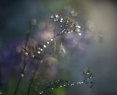 The melted garden (Franci Van der vyver (Carmen Tulum)) Tags: drops bokeh dew fennel queenanneslace ravenwing laceflower helios40285mm darkleavedcowsparsley