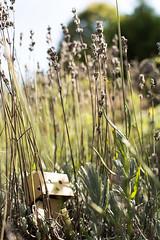 [Danbo] Danbo the Explorer (lenanu) Tags: lenanu danbo danboadventure nikon 35mm outdoor drausen toy spielzeug emotion gefhl sun sunlight sonne spring summer frhling sommer bokeh schrfentiefe tiefenschrfe light licht shadow schatten grass gras lavender lavendel hide hidden versteckt verstecken game spiel cute ss niedlich