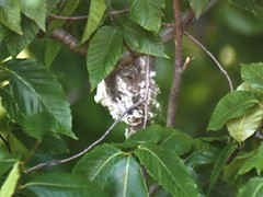 American Redstart Nest (DianesDigitals) Tags: nests americanredstart setophagaruticilla dianesdigitals