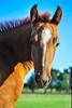 (AmberBrooke.) Tags: horse horses filly foal foals aqha quarterhorse equine equestrian caballo