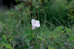IMG_5050 (Nikan Likan) Tags: white paris flower green field grass vintage lens prime weed aperture bokeh 85mm 15 mount m42 1992 zenit manual russian depth f28 blades | jupiter9 2016 preset  2 lzos 9