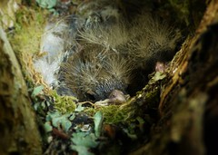 Chaffy Chicks..x (lisa@lethen) Tags: nature nest wildlife chick chaffinch