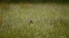 Roe Deer - HSK_0921 (Hasan Karaglmez) Tags: netherlands forest canon contemporary sigma 7d roedeer ree capreoluscapreolus hasankaragulmez 150600mm hasankaraglmez