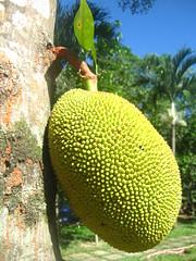 Jack Fruit (The Sloths) Tags: fruit asia vietnam hue jackfruit