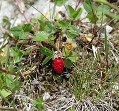 Walderdbeeren (brunoremix) Tags: sterreich alpen hohe pinzgau tauern bramberg kitzbheler