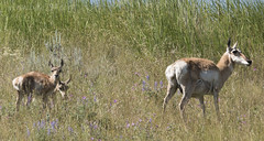 "Female Pronghorn Antelope with fawns • <a style=""font-size:0.8em;"" href=""http://www.flickr.com/photos/63501323@N07/27837574855/"" target=""_blank"">View on Flickr</a>"