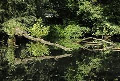 11_21553 Uferbereiche der Bille sind bei Hochwasser berschwemmt und bieten so der Tier und Pflanzenwelt ein wichtiges kosystem. Umgestrzte Baumstmme liegen im Wasser der Bille und vermodern, ein anderer Stamm ragt vom Flussufer ber das Wasser und spi (christoph_bellin) Tags: uferbereiche bille hochwasser berschwemmt kosystem umgestrzte baumstmme wasser vermodern stamm ragt flussufer bilder stadtteil bezirk hamburger stadtteile bergedorf bezirke hamburgs fotos hansestadt