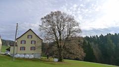 P1100272 (arborist.ch) Tags: tree baum treeclimbing arborist treecare baumpflege arboriculture