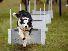 DSC_4002 (TDG-77) Tags: dog pet dogs animal nikon running d750 nikkor f28 flyball chasing 70200mm unleashed vrii