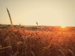 Tramonto marchigiano #tramonti #marche #campagna #estate (michelemarianelli) Tags: estate campagna tramonti marche grano