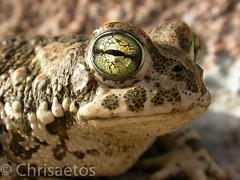DSCN5690 (Chrisaetos) Tags: espaa 2004 fauna andaluca lugares meses octubre sapos ao almera aguamarga parquenaturalcabodegata reptilesyanfibios
