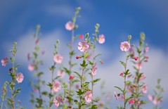 Head in the Clouds (paulapics2) Tags: fleur blumen gentle soft pink clouds sky depthoffield pretty annuallavatera mallow canon5d sigma105mm garden nature sunny cheerful
