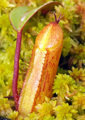 Pitcher plant (Nepenthes macfarlanei) seedling (shadowshador) Tags: life plants plant green zoo moss rainforest wildlife chester jungle plantae botany pitcher biology seedling nepenthes scientific taxonomy classification rainforests jungles nepenthaceae magnoliophyta magnoliopsida caryophyllales caryophyllidae eukaryota spermatophyta tracheobionta macfarlanei archaeplastida neomura systematists