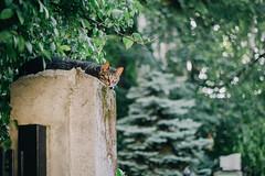 The Queen of the Hood (freyavev) Tags: green animal cat 50mm bokeh outdoor serbia kitty katze belgrade beograd maka srbija vracar vsco topolska