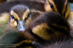 have a look (Ronny Rthig) Tags: animal duck child ente tier junges flaschig