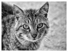 un tranquillo gatto di campagna (Explore # 86) (albygent Alberto Gentile) Tags: gatto olympus biancoenero blackwhite