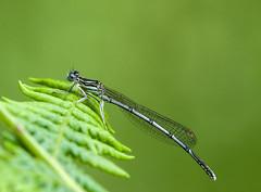 White Legged Damselfly (m) (grahamnichols47) Tags: pentax k3 whiteleggeddamselfly da300mmf4 deneparkwoods