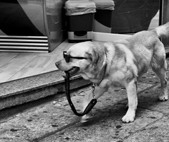 Que pasa... (nO_VR) Tags: street dog chien nature animal cane photography golden photo picture streetphotography olympus can retriever perro hund perros animales gafas  mascota chulo gos    olympistas olympusomd olympusomdem5markii