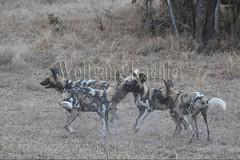 10075534 (wolfgangkaehler) Tags: africa playing nationalpark african wildlife predator zambia africanwilddog southernafrica predatory 2016 africanhuntingdog zambian southluangwanationalpark africanwilddoglycaonpictus