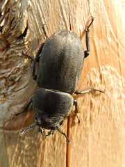 Klein Vliegend Hert (Dorcus parallelipipedus) (Frank Berbers) Tags: insect kever kfer beetle bug coleoptera coloptres scarabaeiformia lucanidae vliegendhert middenlimburg nederland macro