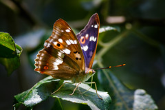 _F0A3412.jpg (Kico Lopez) Tags: rio spain galicia mariposas lugo mio apaturailia tornasolada