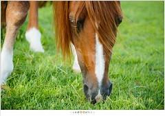 Eureko (nandOOnline) Tags: weide nederland dier manege equus paard paarden nicol equidae arabier nbrabant bakel eureko hoefdier onevenhoevigen