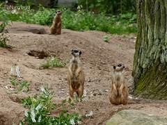 Erdmnnchen - Tiergarten Nrnberg - 15.06.2016 (ElaNuernberg) Tags: zoo erdmnnchen zooanimals zootiere nurembergzoo tierischebewohner