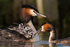Fuut - Great Crested Grebe - Podiceps Cristatus (wimzilver) Tags: holland bird nature netherlands nederland natuur 7d alblasserwaard vogel fuut greatcrestedgrebe podicepscristatus alblasserdam canon300mmf4lis wimzilver fuutmetjongen canon300mmf4lis14ex fuutmetjongendiegevoerdworden