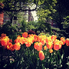 Orange Tulips in the Sun - Jefferson Market Community Garden (Sylvia Syracuse (Gothamiste) iPhone and Canon DSLR) Tags: nyc newyorkcity flowers gardens architecture spring parks newyorkpubliclibrary newyorknewyork renwick greenwichvillage jeffersonmarket communitygardens 2013