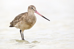 Marbled Godwit (Jeff Dyck) Tags: birds fort northbeach marbled desoto fortdesoto marbledgodwit godwit limosafedoa jeffdyck