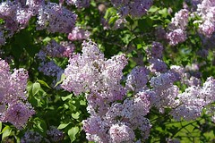Central Experimental Farm Lilacs 022 (Chrisser) Tags: flowers ontario canada nature garden spring gardening ottawa fourseasons closeups lilacs syringa oleaceae centralexperimentalfarm canonefs1855mmf3556islens canoneosrebelt1i