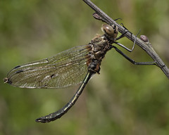 Downy Emerald Dragonfly (Cordulia aenea) (John (Gio) * OVER 100,000 VIEWS *) Tags: uk macro closeup insect kent dragonfly wildlife olympus gio southeast nbw downyemerald corduliaaenea zuikodigitaled50mm120macro