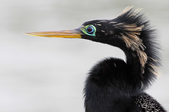 Anhinga (Let there be light (Andy)) Tags: birds texas anhinga brazosbend texasbirds featheryfriday uppertexascoast globalbirdtrekkers