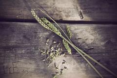 Mis puntos suspensivos ... (Carmen Hache) Tags: verde primavera table spring madera campo getty mesa gettyimages espigas getty2013