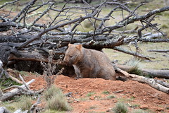 The Wombat (KBTimages.co.uk(uk_photo_art)) Tags: wood morning sunset mist tree sunrise cows sheep eagle farm chainsaw australia nsw firewood termite
