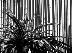 ||||||||||| (estella7272) Tags: plant home sunrise shadows stripes pianta linee cannizzi