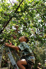Plum season (cmrowell) Tags: california tree jeremy ouryard ladder plums venturacounty conejovalley pluots jeremy6