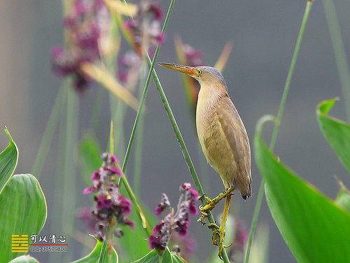 黄苇鳽 Yellow Bittern