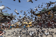 Pigeons at the Gandam Temple, Ulan Bator (Bas Bloemsaat) Tags: temple pigeons buddhism mongolia