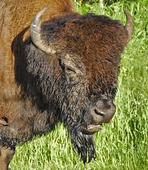 Elk Island National Park (Bison) (Protection Island) Tags: island buffalo alberta beast elk bison
