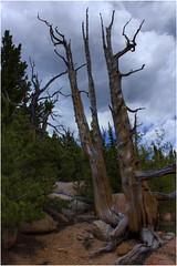 _MG_0597_8_9a (markbyzewski) Tags: deadtree ugly hdr pikespeak barrtrail