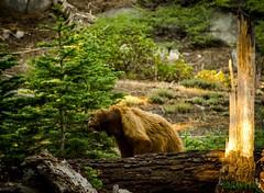 Bear-2 (ranveerj) Tags: bear forest nikon eating adventure yosemite yosemitenationalpark d7000 nikond7000