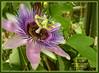 Passiflora (Pepe (ADM)) Tags: lejardindesdélices fleursetpaysages magaleriespéciale