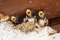 Hungry Chicks (juliereynoldsphotography) Tags: birds chicks swift juliereynolds