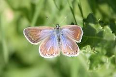 Common Blue Polyommatus icarus female (X'ian) Tags: butterfly butterflies papillon mariposa farfalla schmetterlinge schmetterling vlinder commonblue papillons polyommatusicarus kelebek farfalle vlindertuin vlindertuinkortrijk