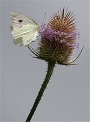 Cabbage White & Teazel (tina777) Tags: white butterfly vale glamorgan cabbage teazel southerdown