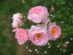 IMG_2066 (jrcollman) Tags: plants gardens places rplant christophers2baringcrescentexeter rosescepterdisle
