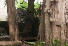 Leopard des neiges (FranSight) Tags: canon zoo skippy panther bengal tigre whitelion chameau panthre lopard kangourou rhinocros eos450d lionne zoodamnville tigredubengal rhinocrosblanc lionblanc leoparddesneiges fransight franimage leopardblanc