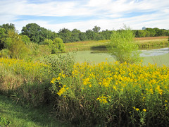 Marsh Land, Golden Rod Photo